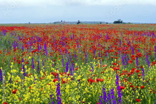 Photo sur Aluminium Poppy field of blooming red poppies.