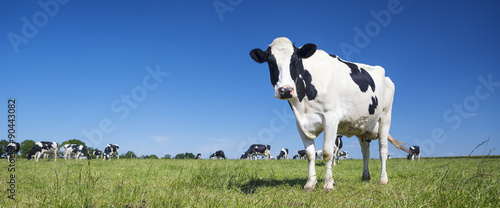 Foto Panoramic view of black and white cow