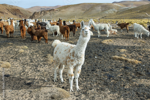 Poster Lama Flock of Llamas in northern Argentina