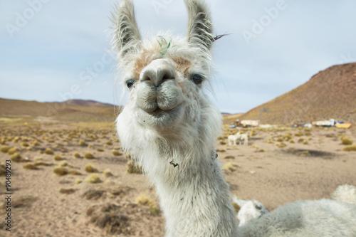 Papiers peints Lama Closeup of a Llama in northern Argentina