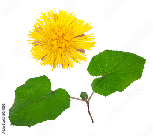 Medicinal plant: coltsfoot Canvas-taulu