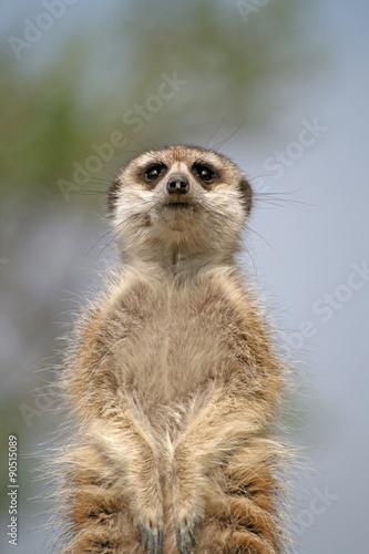 Photo Stands Kangaroo Alert Suricate or Meerkat (Suricata suricatta), standing to lookout