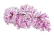 light pink lilac isolated inflorescence