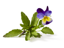 Pansy Violet With Green Leaves On White Background (Viola)