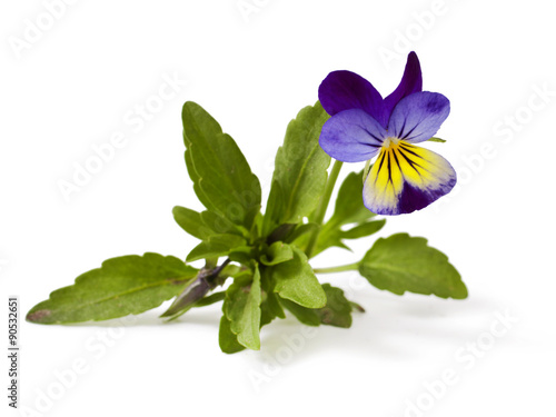 Fotografie, Obraz  Pansy Violet with Green Leaves on White Background (Viola)