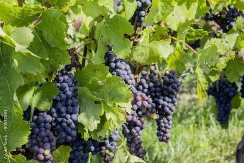 Vignes-raisins 08 - 90537883