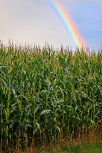 Green Vertical Picture Shows A Rainbow Over The Cornfield
