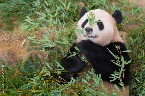 In de dag Panda ジャイアントパンダ