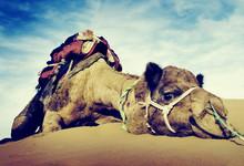 Animal Camel Desert Resting Tranquil Solitude Concept