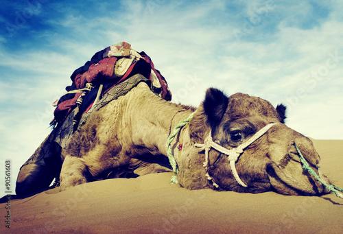 Deurstickers Kameel Animal Camel Desert Resting Tranquil Solitude Concept