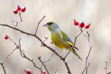 Panel SzklanyEuropean greenfinch with red rose hips.