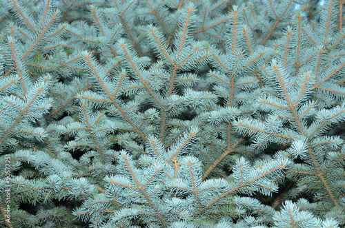 Fotografia, Obraz  blue spruce