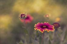Gaillardia Pulchella Flower In Gardent