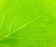 Close up - New Green leaf texture