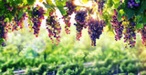 Viticulture The Sun That Ripens The Grapes - 90611493