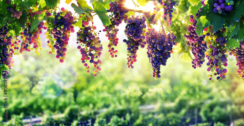 Foto auf Gartenposter Weinberg Viticulture The Sun That Ripens The Grapes