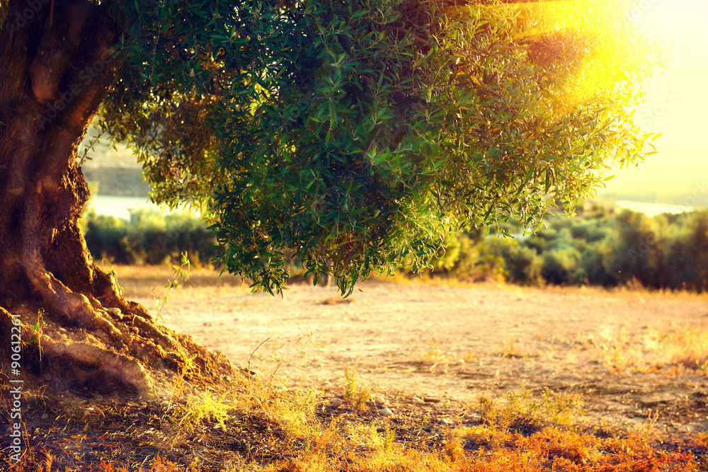 Olive trees. Plantation of olive trees at sunset. Mediterranean