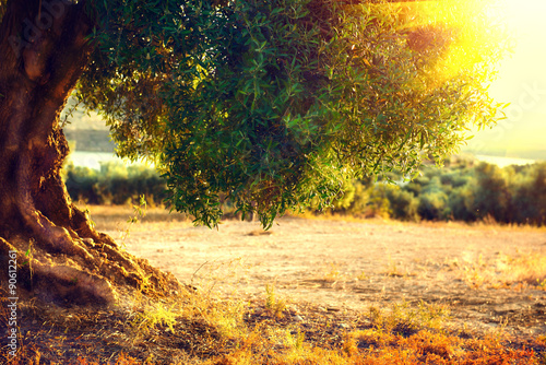 Foto op Plexiglas Olijfboom Olive trees. Plantation of olive trees at sunset. Mediterranean