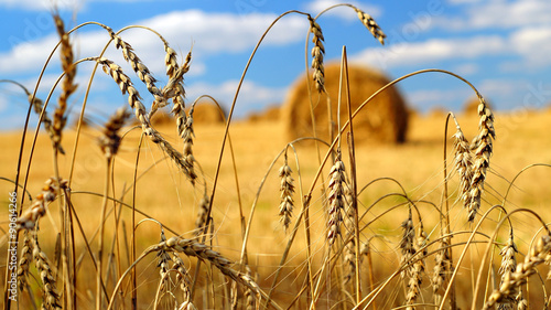 Obraz Golden ears of wheat with a sheaves of hay on the background - fototapety do salonu