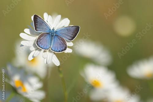Foto op Plexiglas Vlinder Common Blue Butterfly