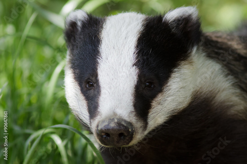 Canvas-taulu Badger
