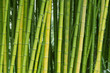 canvas print picture Green bamboo nature backgrounds