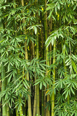 Obraz na PlexiGreen bamboo nature backgrounds