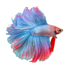 Siamese Fighting Fish, Betta S...