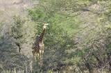 Fototapeta Sawanna - Giraffa nella savana