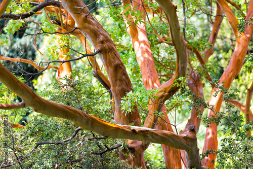 Tree trunk of Arbutus (disambiguation) close up Wallpaper Mural