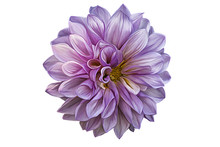 Drawing Oil Painting Dahlia Flower On A White Background