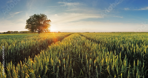 Wheat field at sunset Wallpaper Mural