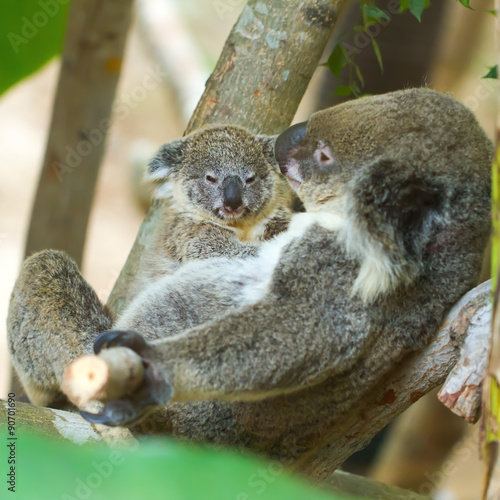Mother holding baby koalas in the trees.