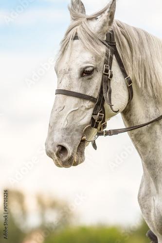 Obraz w ramie White thoroughbred horse, horse head,