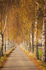 FototapetaBirkenallee im Herbst