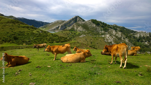 Cows in a pasture at Covadonga Lakes in Picos de Europa, Asturias - Spain