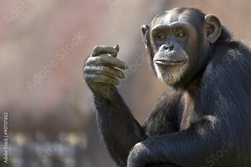 Photo sur Aluminium Singe comical chimpanzee making a hand gesture with room for text