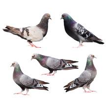 Set Pigeons Isolated On White ...