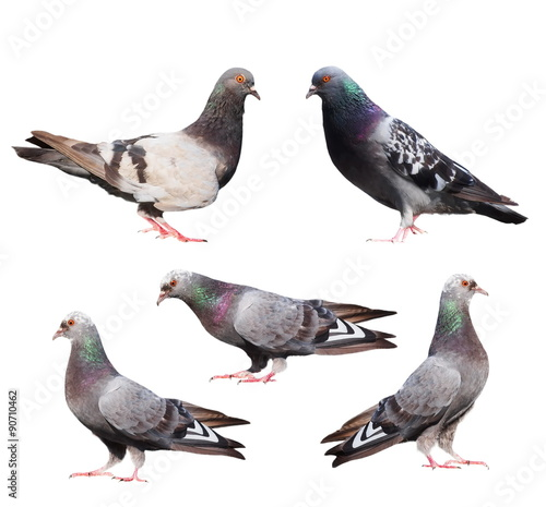 set pigeons isolated on white background