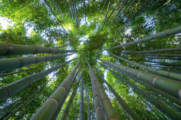 Panel Szklany Bambus Bamboo forest, a look to the sky