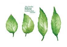 Sketch Of Mint. Vector Illustr...