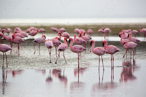 Aluminium Prints Flamingo Flamingos in Wallis Bay, Namibia, Africa