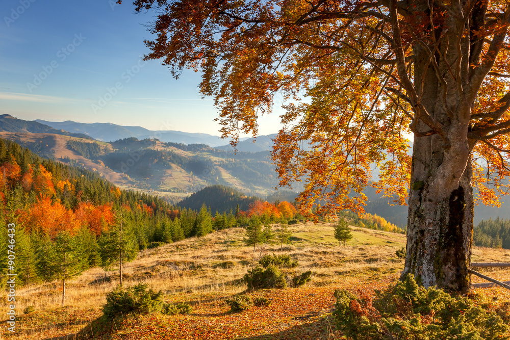 Early Morning Autumnal Landscape - yellow old tree in