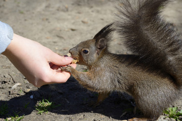 Red squirrel eating food from human hand in a park.