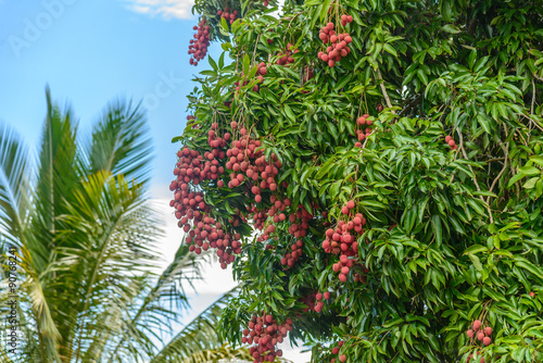 Bunch of lychees on a tree