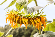 Dying And Wilted Sunflower Plant