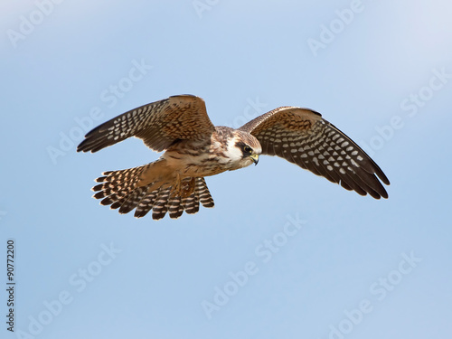 Fotografie, Tablou  Red-footed falcon (Falco vespertinus)
