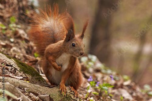 close up of squirrel in forest Tapéta, Fotótapéta