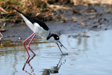 Black-necked Stilt Catches A M...