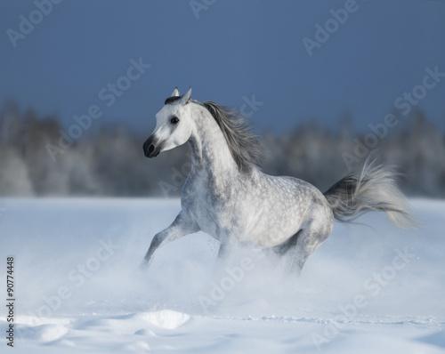 Foto op Canvas Paarden Galloping grey arabian horse on snow field